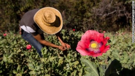 Opium poppies are a major crop, and source of income, for many farmers.