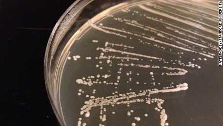 Genetically-engineered yeast growing in a petri dish at Smolke's laboratory at Stanford University.