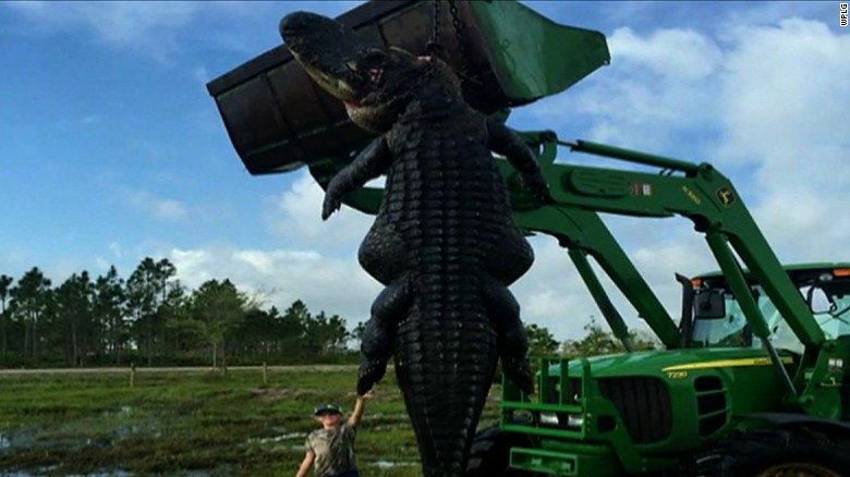 Station Notes/Scripts:    A giant gator killed during a guided hunt on a Florida farm could be one of the largest on record in the state.