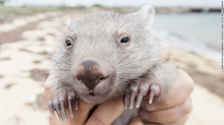 Your chance to be 'Chief Wombat Cuddler'