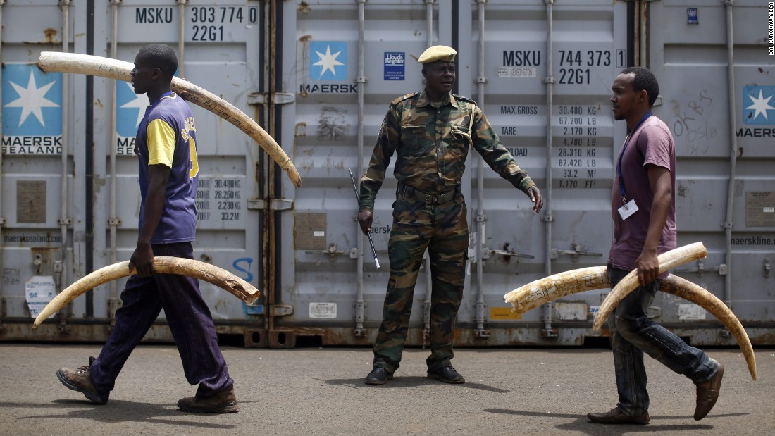An officer of the Kenya Wildlife Service watches workers carry tusks at the agency's headquarters in Nairobi on Monday, April 4. Later this month, the agency will burn 105 tons of ivory to discourage poaching.