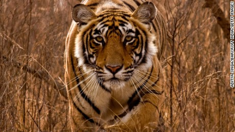 A tiger photographed in Ranthambore National Park in Rajashthan, India. The country has seen increases in tigers in the latest survey.