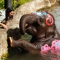 thai new year sydney elephant
