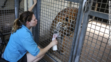 Zookeeper Stacky Sonwiser, who  died Friday afternoon after being mauled by a Malayan tiger, feeds Berapi Api, a ten-year-old Malayan tiger at the Zoo in 2011.