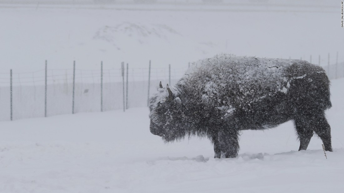 A lone bison is blanketed by snow as it stands along Interstate 70 near Evergreen, Colorado, on April 16.