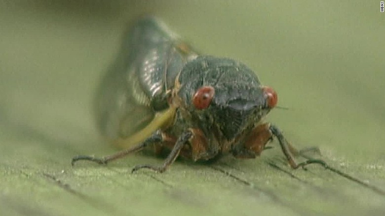 Noisy cicadas prepare to emerge after 17 years