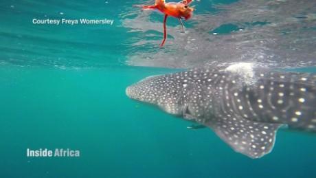 inside africa djibouti whale sharks spc b_00002230