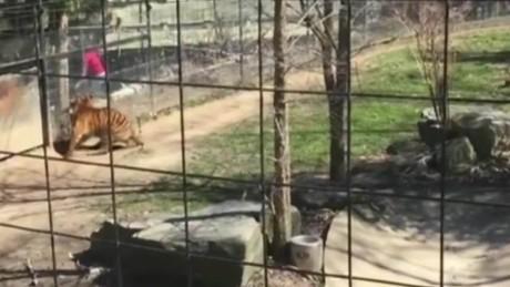 cnnee vo rec mujer salta la a la jaula de un tigre _00000121