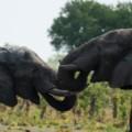 zimbabwe elephant 2