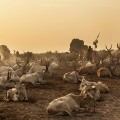 RESTRICTED mundari cows 2