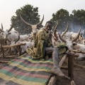 RESTRICTED mundari cows 3