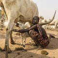 RESTRICTED mundari cows 4