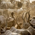 RESTRICTED mundari cows 6