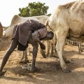 RESTRICTED mundari cows 7