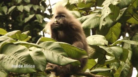 kipunji monkey of tanzania spc b_00023118.jpg