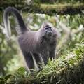 Kipunji monkey