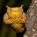 WCS Tanzania viper