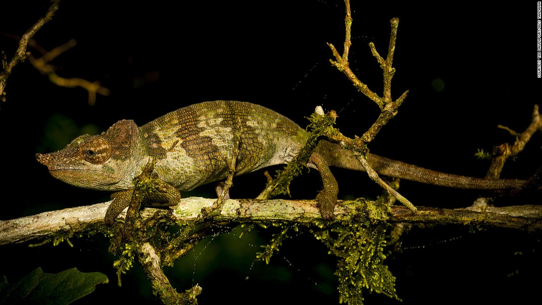 Msuya's Chameleon, Davenport and colleagues uncovered this species this year