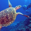 QAMEA_SEA_TURTLE