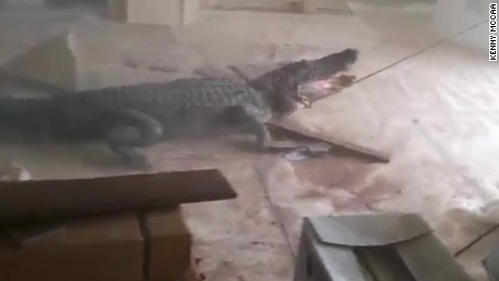 man finds alligator in living room louisiana pkg_00000704