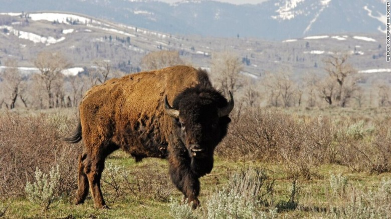 U.S. may soon have a national mammal