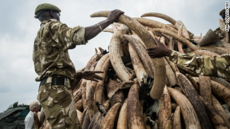 A KWS ranger stacks one of the ivory pyres.