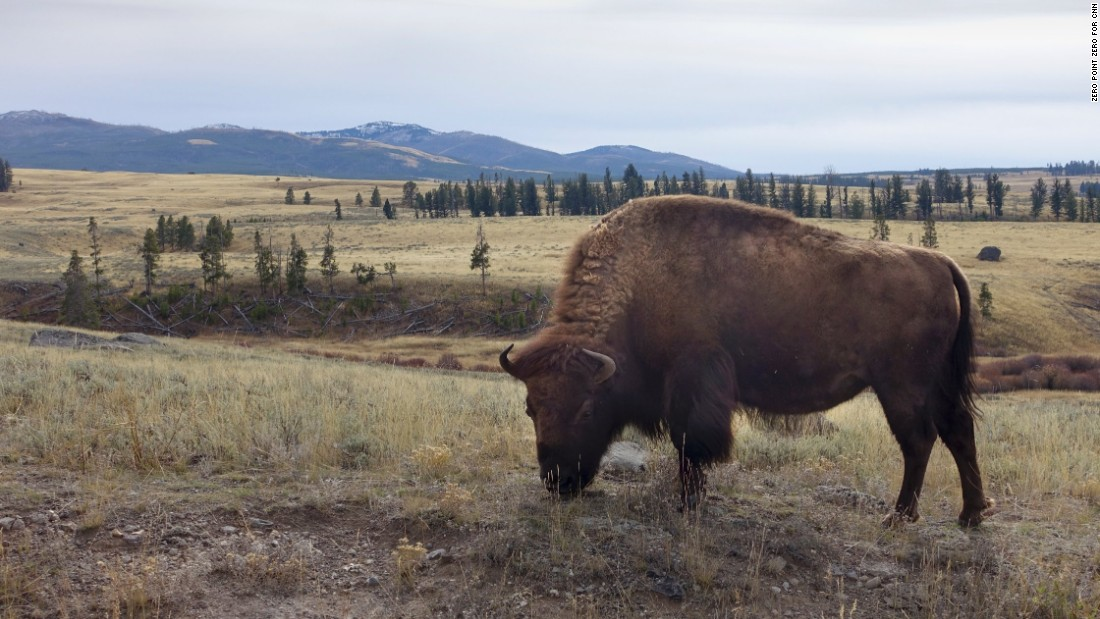 The buffalo is among the most popular wildlife sightings in Yellowstone National Park.