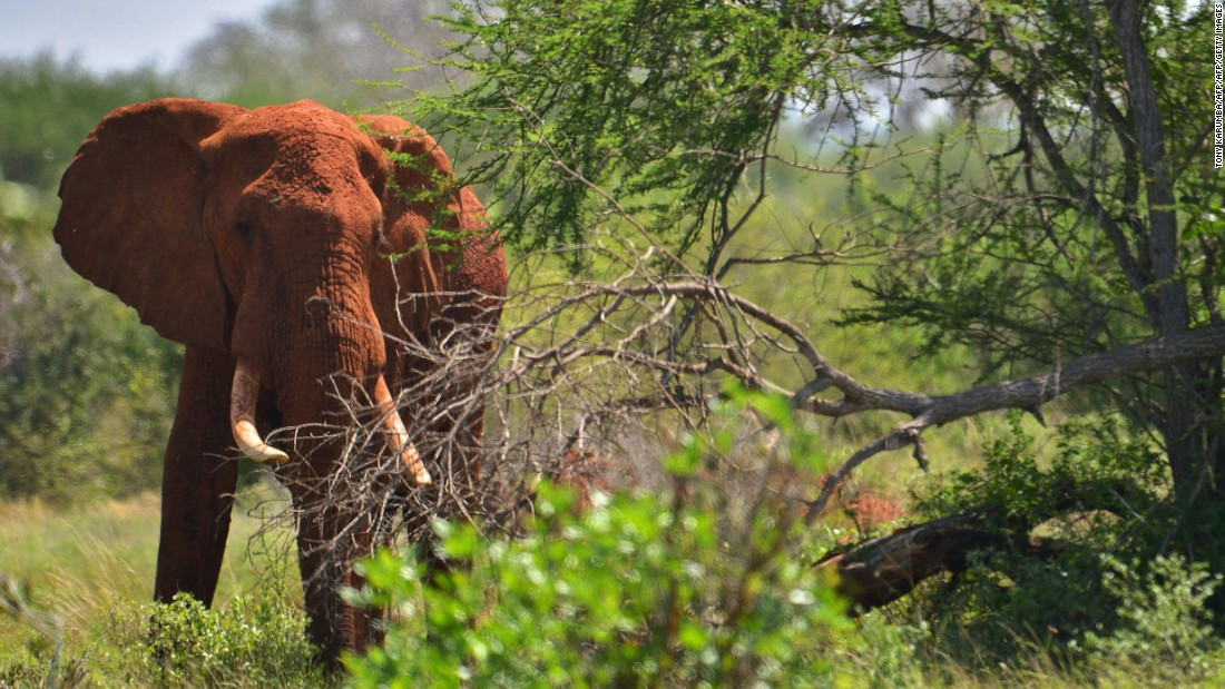 Elephants ranging near the high speed standard gauge railway will be fitted with advanced radio tracking collars. This means conservationists will be able to discern any disruptions in their natural movement cycles caused by the new railway.