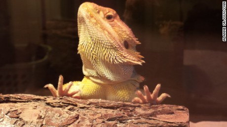 A new study finds that bearded dragons go through various stages of sleep, similar to humans.