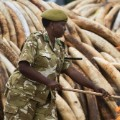 02 kenya ivory burn