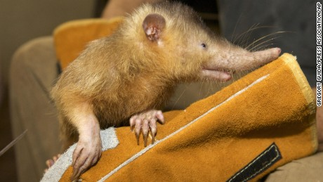 This endangered Hispaniolan solenodon may have ancestors who knew dinosaurs.