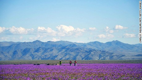 Purple plains: Rare rainfall brings an incredible floral display to the Atacama.