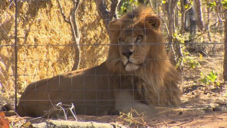 south africa lions rescue mckenzie pkg_00011014