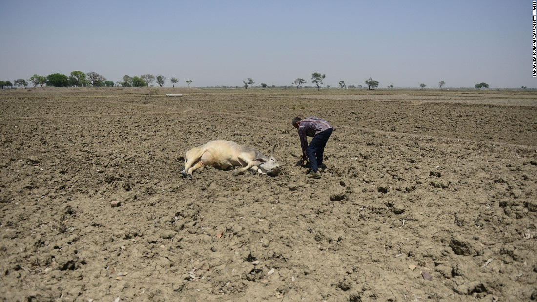 A farmer tries to revive his unconscious cattle in the Gondiya village on Thursday, April 21.
