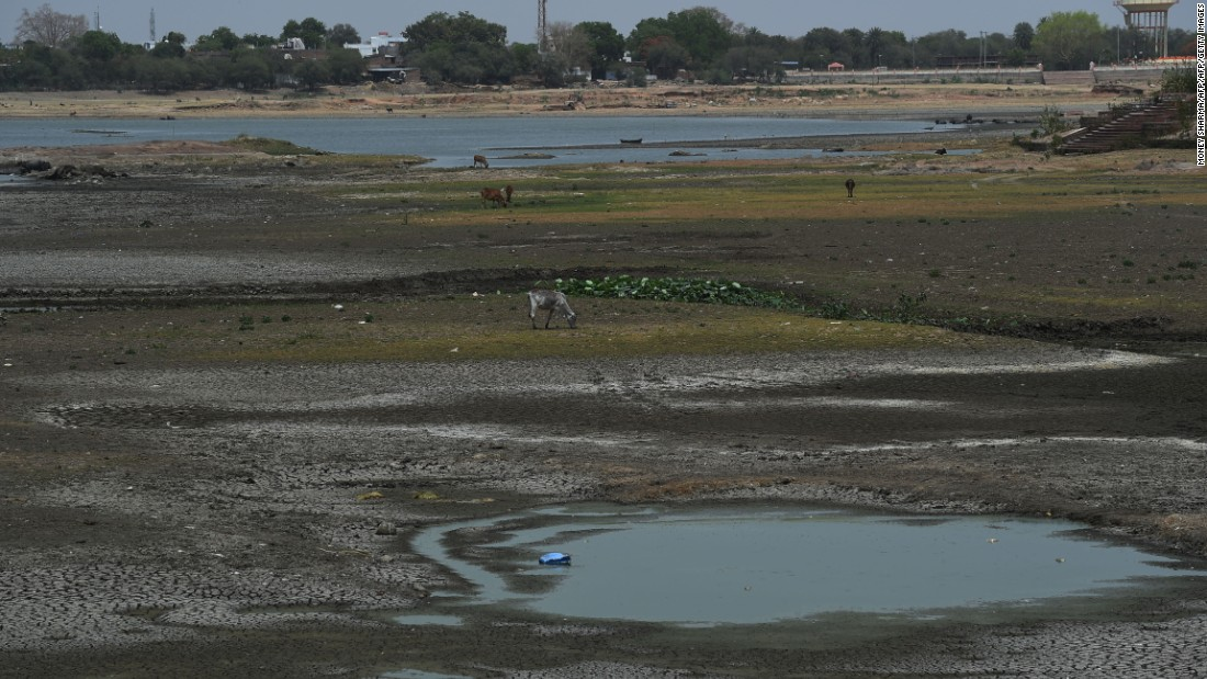 Cattle graze in a partially dried-up pond in central India on April 27.