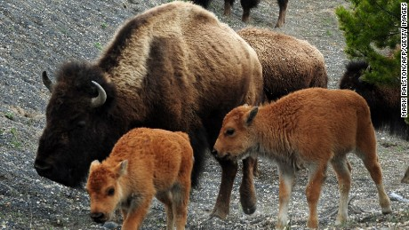 American Bison and their calves forage for food at Yellowstone National Park.