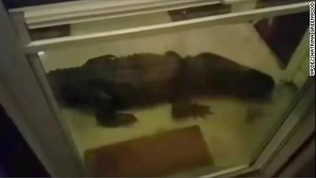 Alligator surprises family at doorstep pkg_00000706