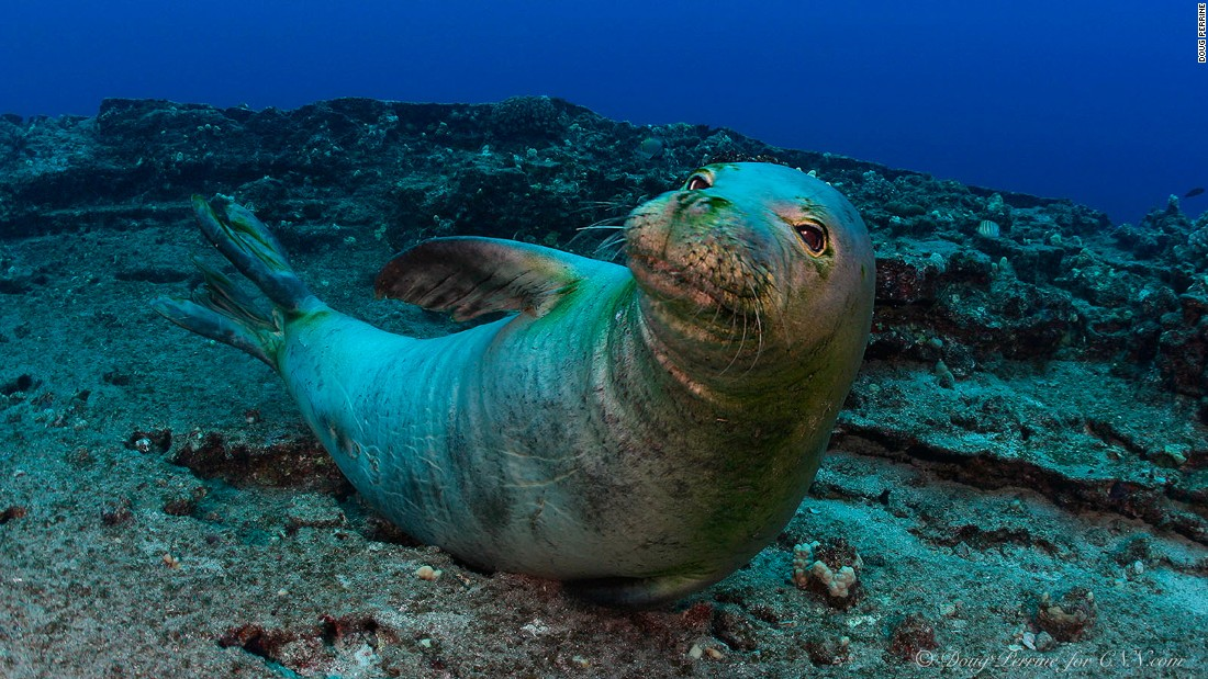 The Hawaiian monk seal, found only in Hawaii, is one of the most endangered marine mammals in the world.