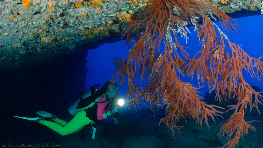 A diver examines black coral tree. Black coral is the official state gem of Hawaii.