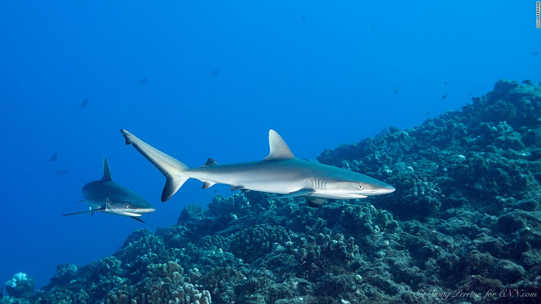 Juvenile gray reef sharks at The Keyhole dive site, Lehua Rock. With open ocean so close at hand, there's a good chance of seeing large sharks and rays.