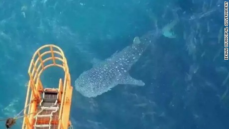 Whale shark spotted by oil-rig workers off the coast of Beihai.