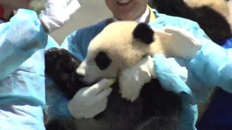 china pandas vo_00000906