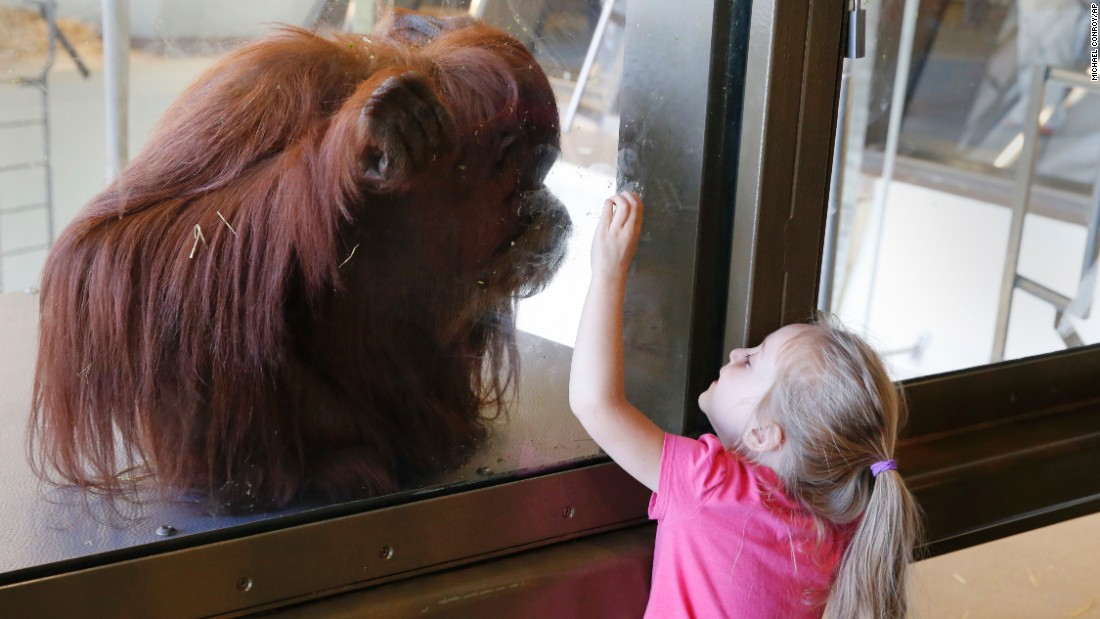A girl interacts with an orangutan at the Indianapolis Zoo on Friday, May 6.