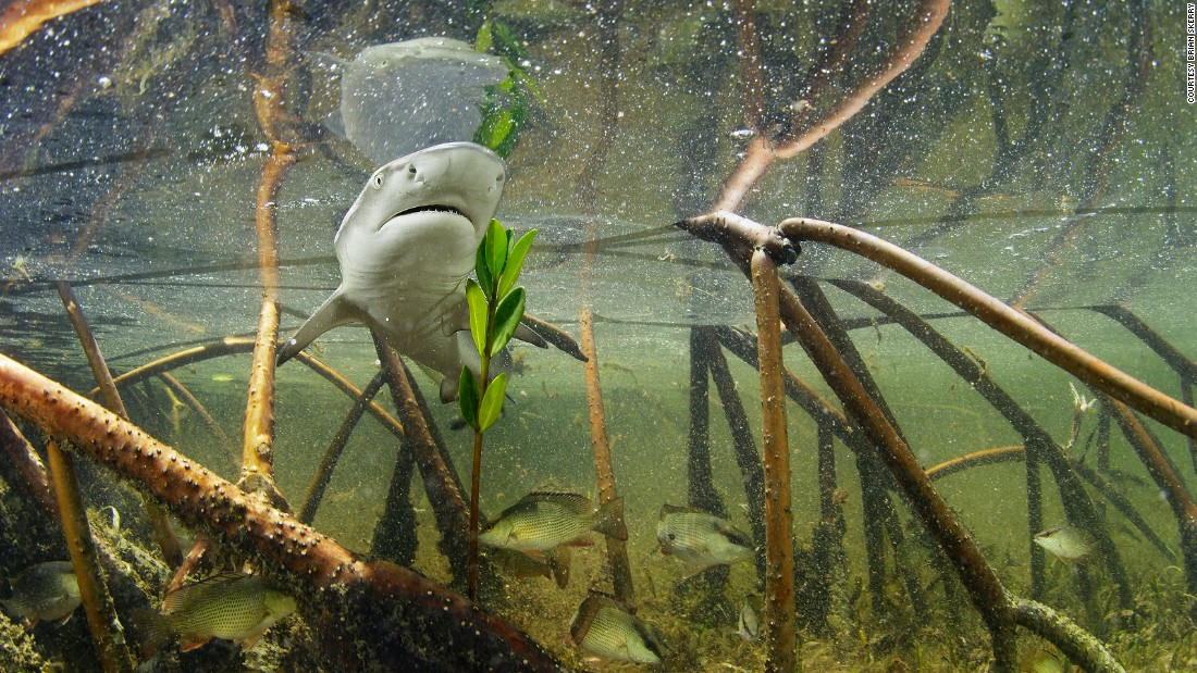 A lemon shark pup swims through a mangrove nursery in Bimini.