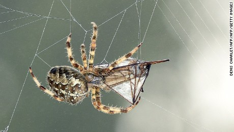 In some spider species, males present their female love interests with gifts of insects, mostly flies.
