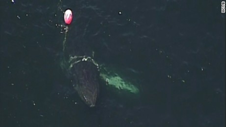 NS Slug: MA: ENTANGLED HUMPBACK WHALE SPOTTED OFF COAST  Synopsis: Entangled humpback whale spotted off Massachusetts coast  Keywords: MASSACHUSETTS GLOUCESTER AERIALS WATER RESCUE CREWS