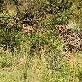 Cheetah-Welgevonden-02