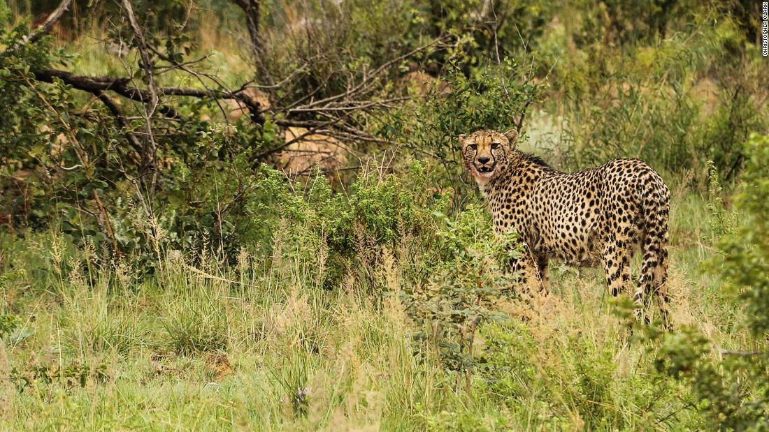 Welgevonden has also had great success with the notoriously tricky reintroduction of cheetahs.