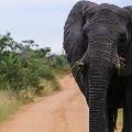 Elephant,-Welgevonden