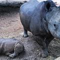 Rhinos,-Ant's-Nest